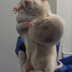 rat femelle