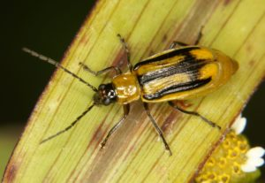 Maïs OGM et ravageurs très dangereux : Octobre 2002
