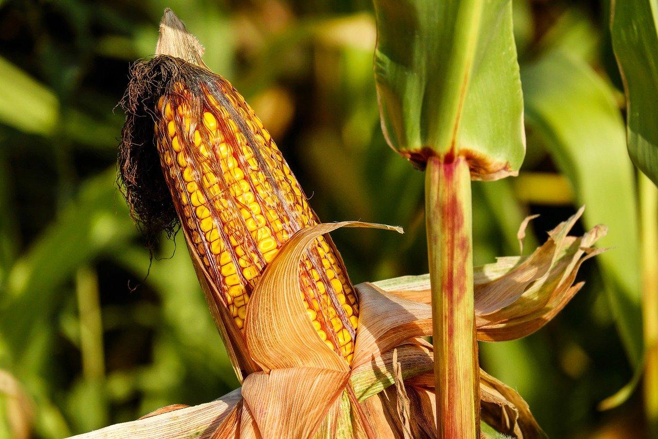 Rapport d'un panel d'experts sur l'étude de Monsanto sur le MON 863 et de l'analyse de cette étude par le CRIIGEN