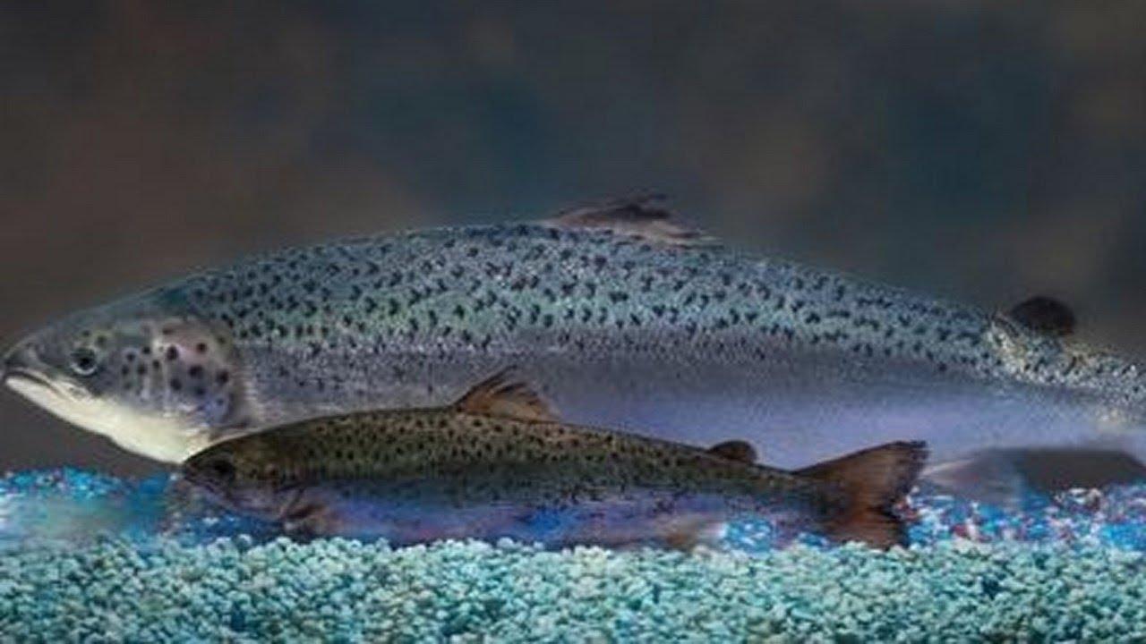 Nouvelle étude sur le saumon transgénique – Janvier 2009
