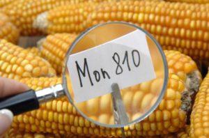 C. Vélot – Qu'est-ce que l'OGM MON 810 ?