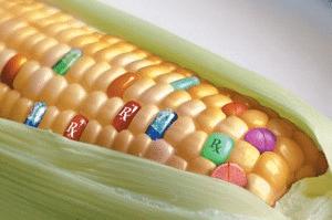 Des études montrent que les animaux nourris avec les OGM commercialisés ont des problèmes organiques