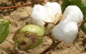 Coton OGM Bt indien