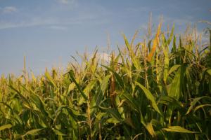 Le maïs OGM alimentaire NK603 contient des substances actives qui ont échappé à la réglementation