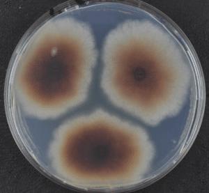 Roundup : toxique à des doses très inférieures à la dilution agricole ! Nouvelle étude de Christian Vélot & al.