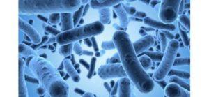Le Roundup affecte le microbiote intestinal