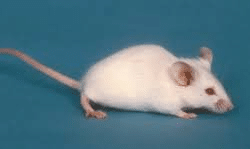 Une exposition chronique à des faibles doses de Roundup provoque une modification de la flore intestinale des rats