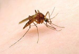 Les moustiques OGM se reproduisent avec leurs cousins sauvages – un article d'Inf'OGM