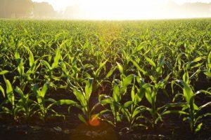 « OGM cachés », le gouvernement nous prend pour les cobayes des firmes agrochimiques / une tribune signée par le CRIIGEN