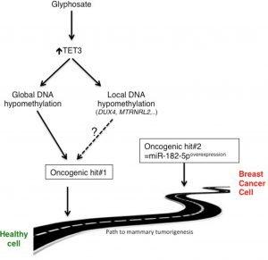 Le glyphosate prépare les cellules mammaires à la tumorisation par re-programmation des gènes…